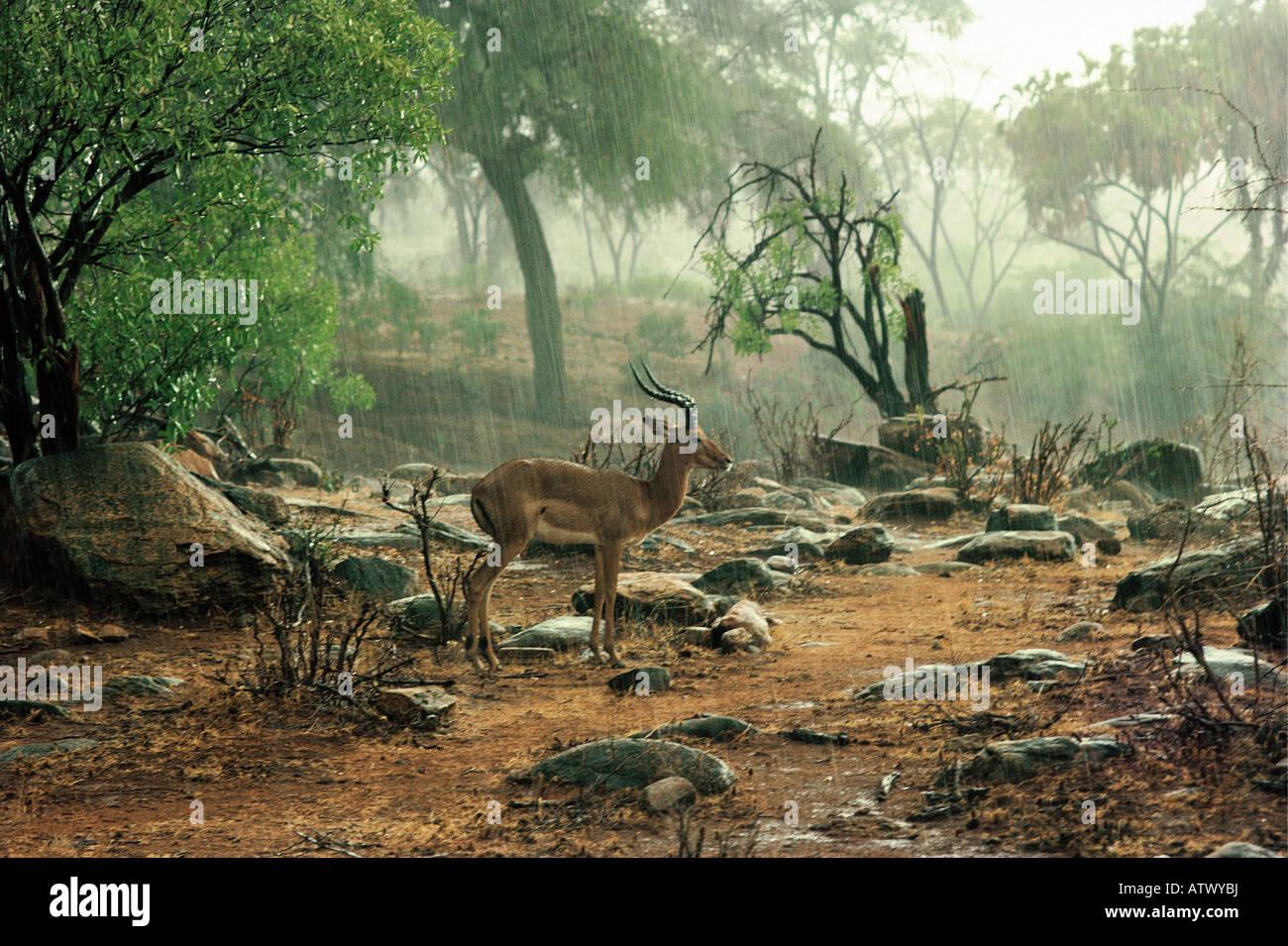 Male Impala antelope standing motionless in a heavy rain shower Tsavo West National Park Kenya East Africa - Stock Image