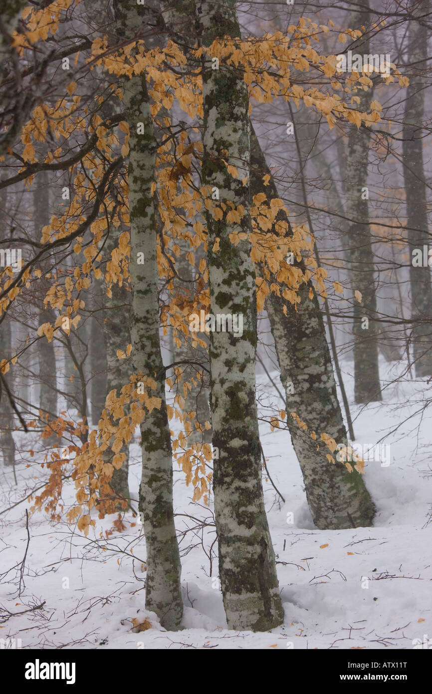 High altitude beech tree (Fagus sylvatica) woodlands with foliage, around the source of the River Loire in winter Stock Photo