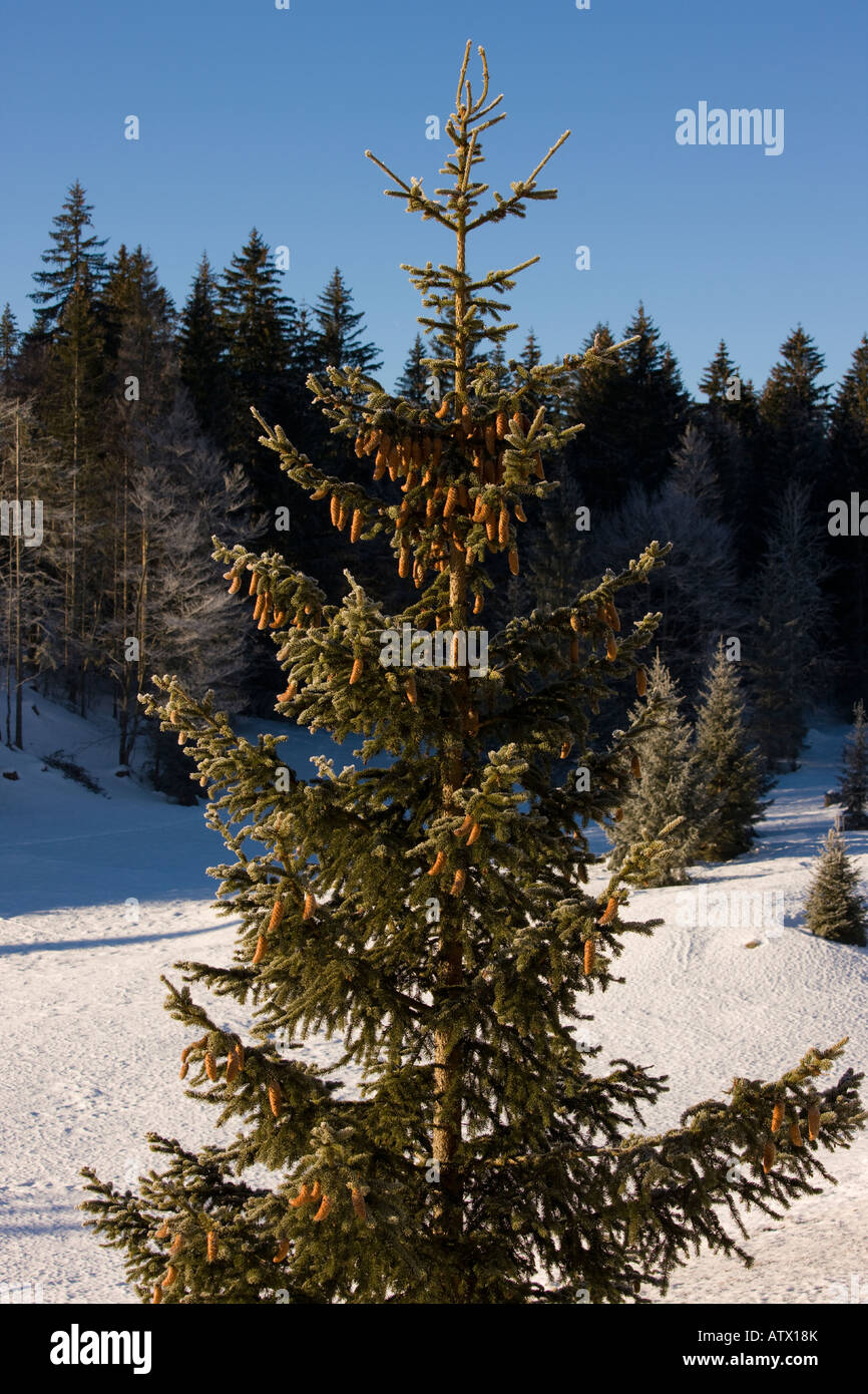 Norway Spruce Picea abies in winter with cones Christmas tree Jura Mountains East France - Stock Image