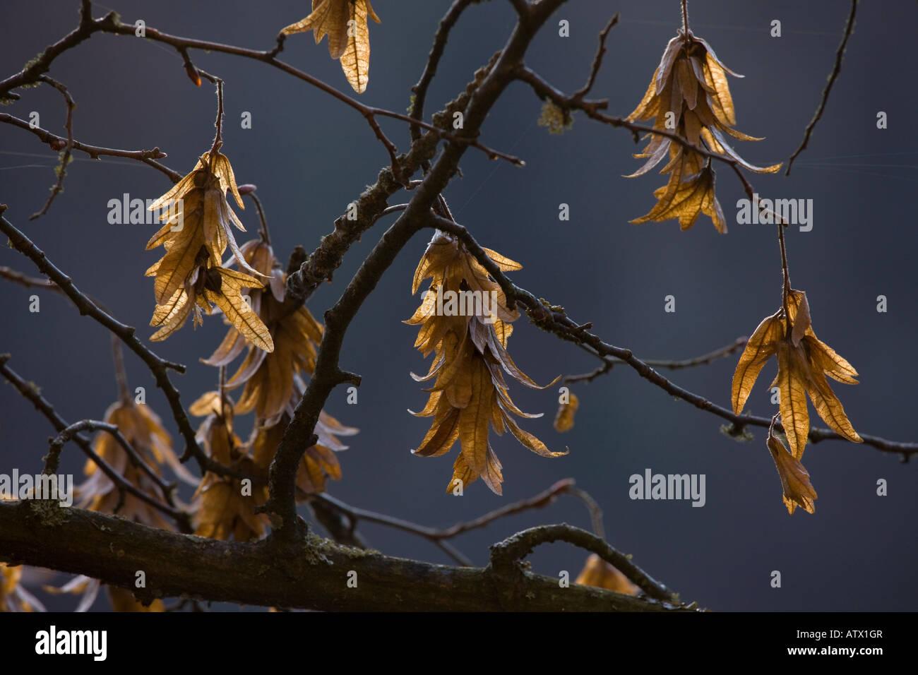 Fruits of hornbeam Carpinus betulus in winter - Stock Image