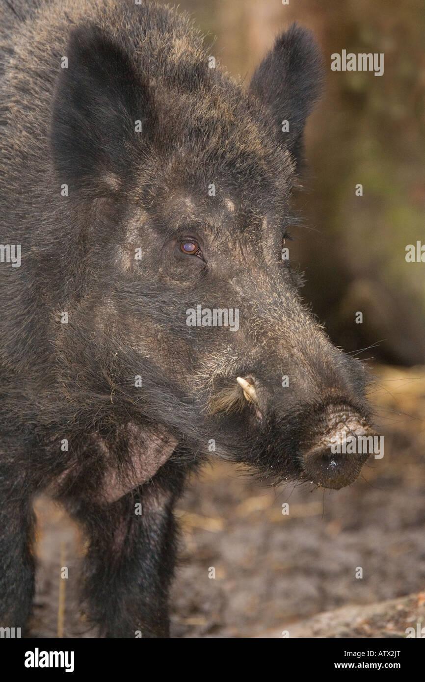 Wild Boar Sus scrofa naturalised in UK - Stock Image