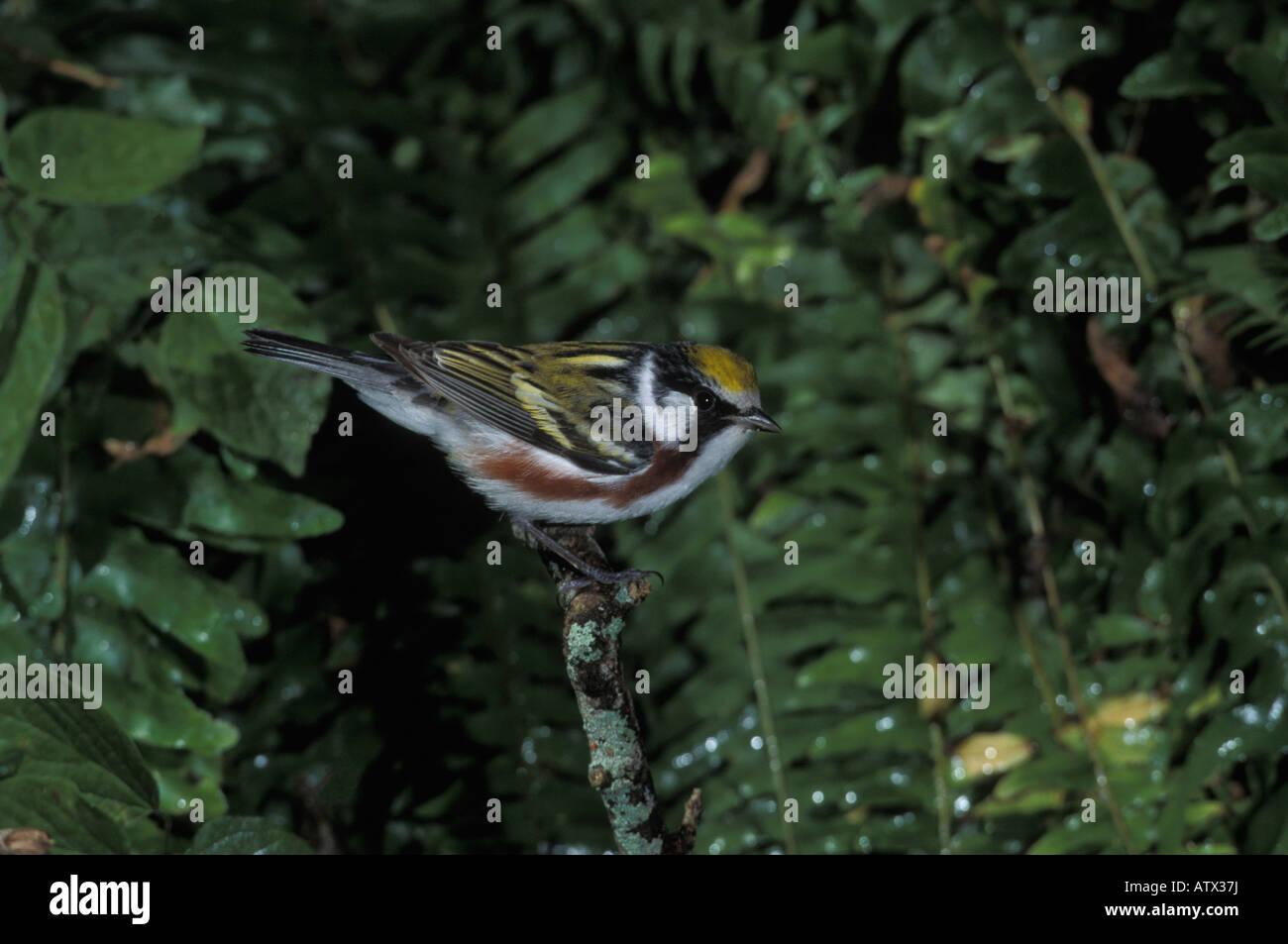 Chestnut-sided Warbler male, Dendroica pensylvanica, perched. Stock Photo