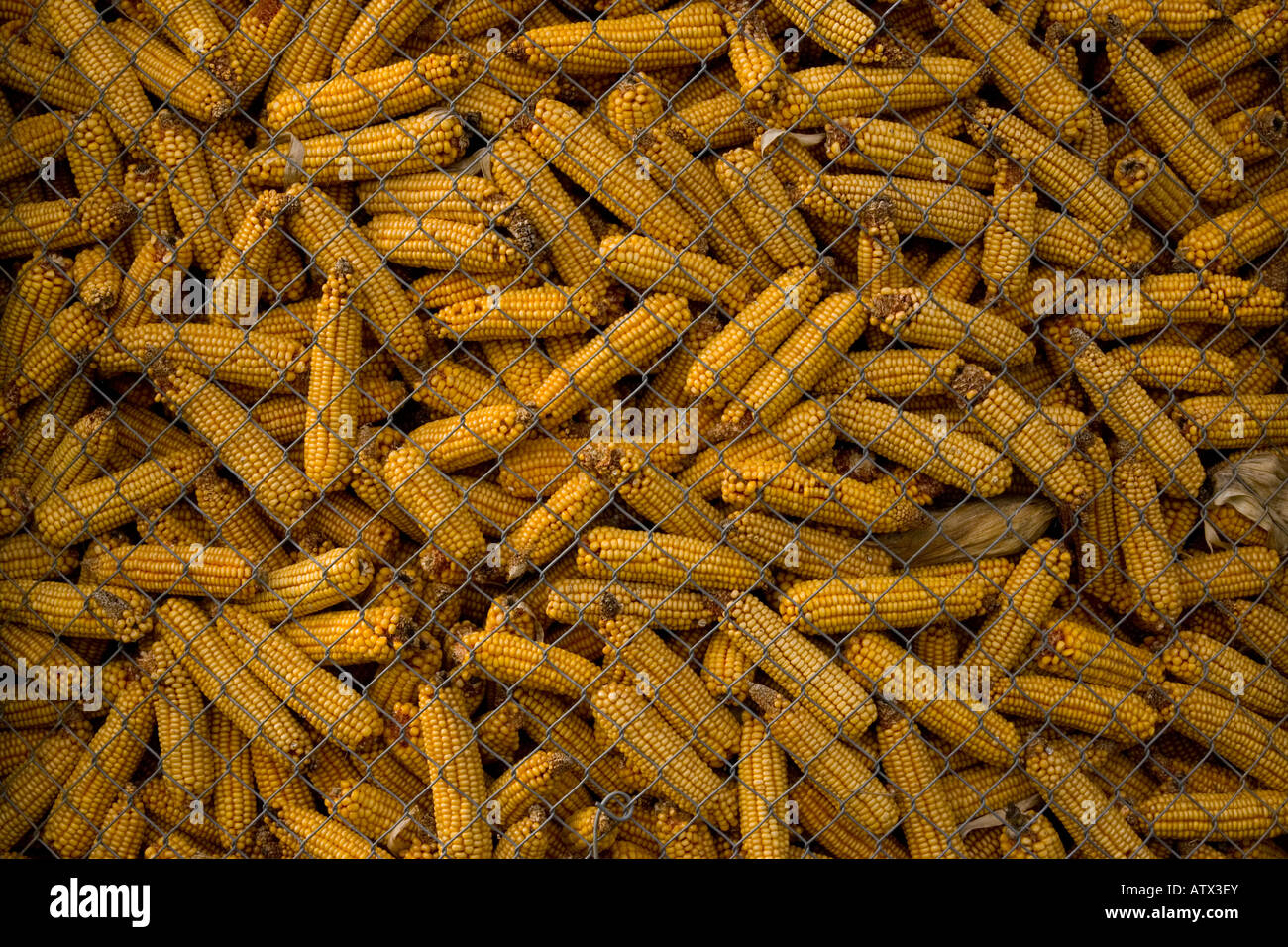 Maize (Zea mays) in storage, Rhine Valley, France, Europe - Stock Image