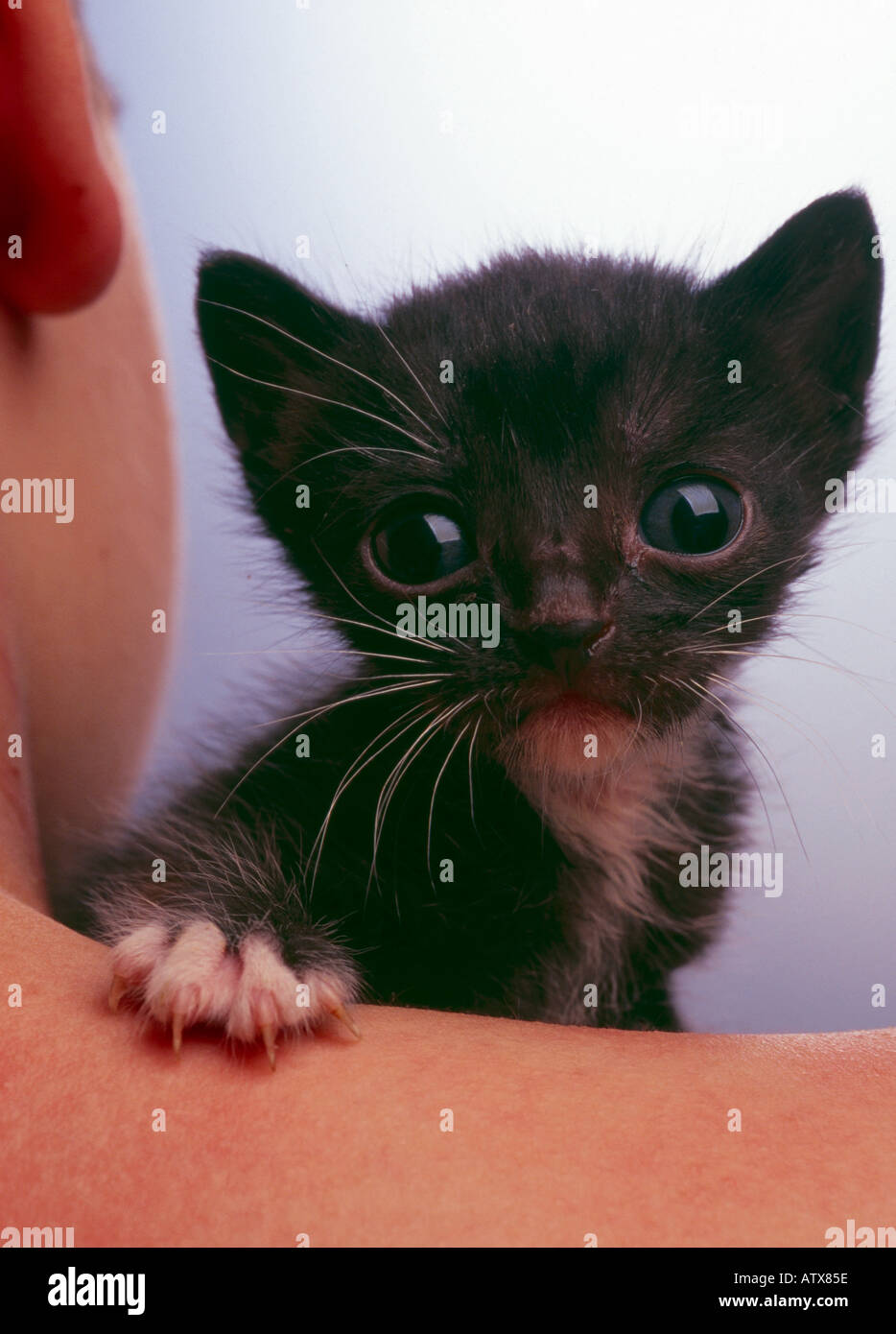 Little kitten on boy's shoulder looking at camera - Stock Image