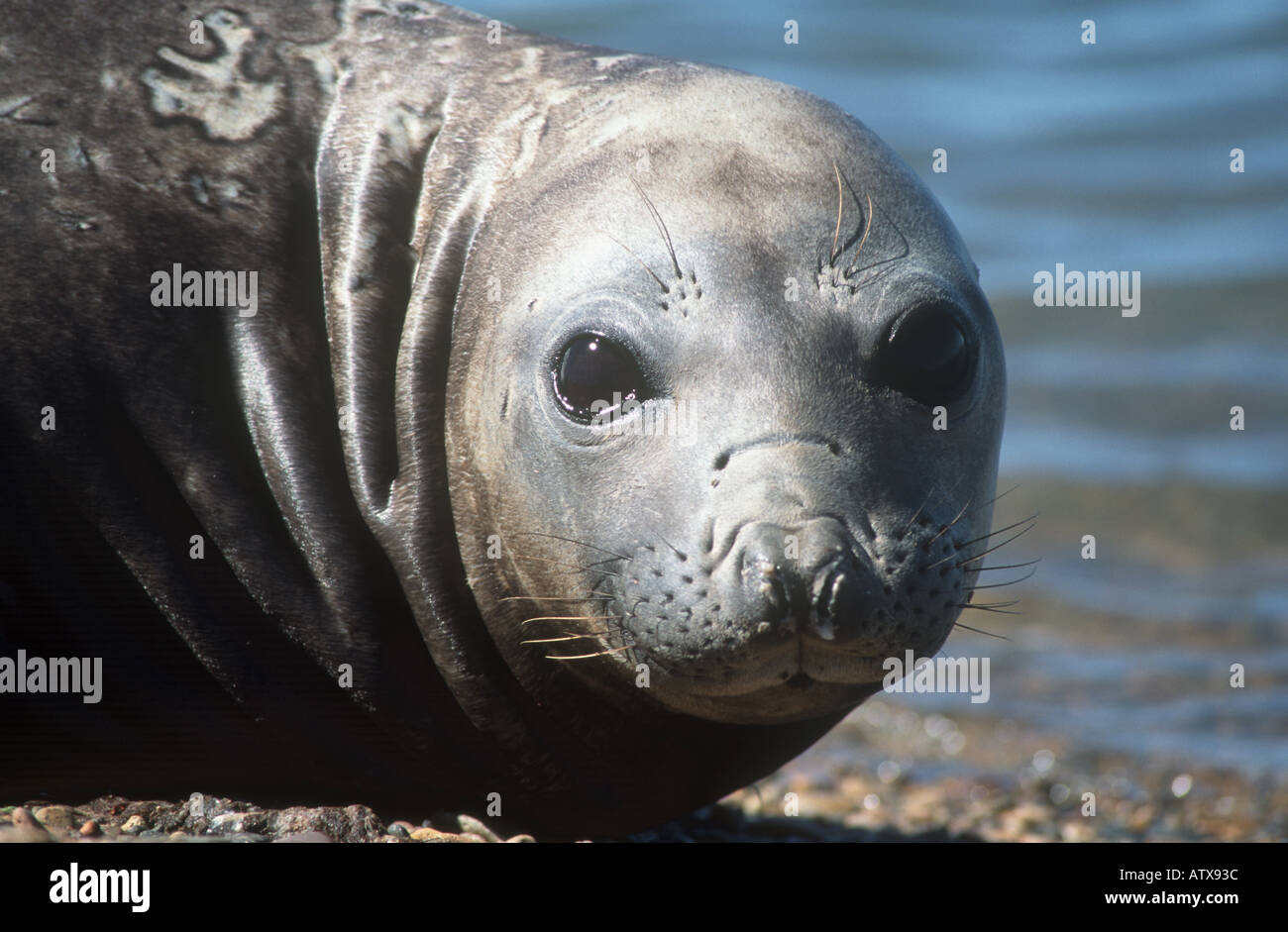 young southern elephant seal - portrait / Mirounga leonina Stock Photo