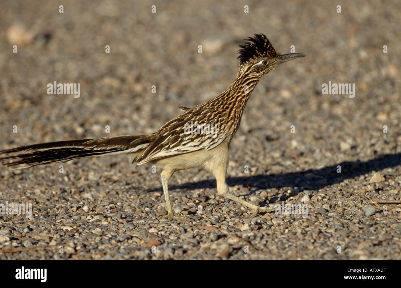 lesser Roadrunner / Geococcyx velox Stock Photo