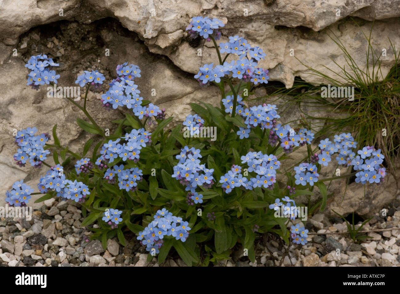 Alpine forget me not Myosotis alpestris in flower Very rare in UK Stock Photo