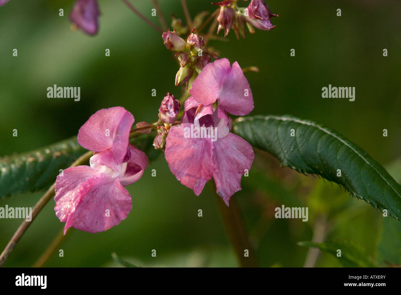 Policemen's Helmet or Himalayan Balsam Impatiens glandulifera from Himalayas but spreading rapidly in Europe - Stock Image