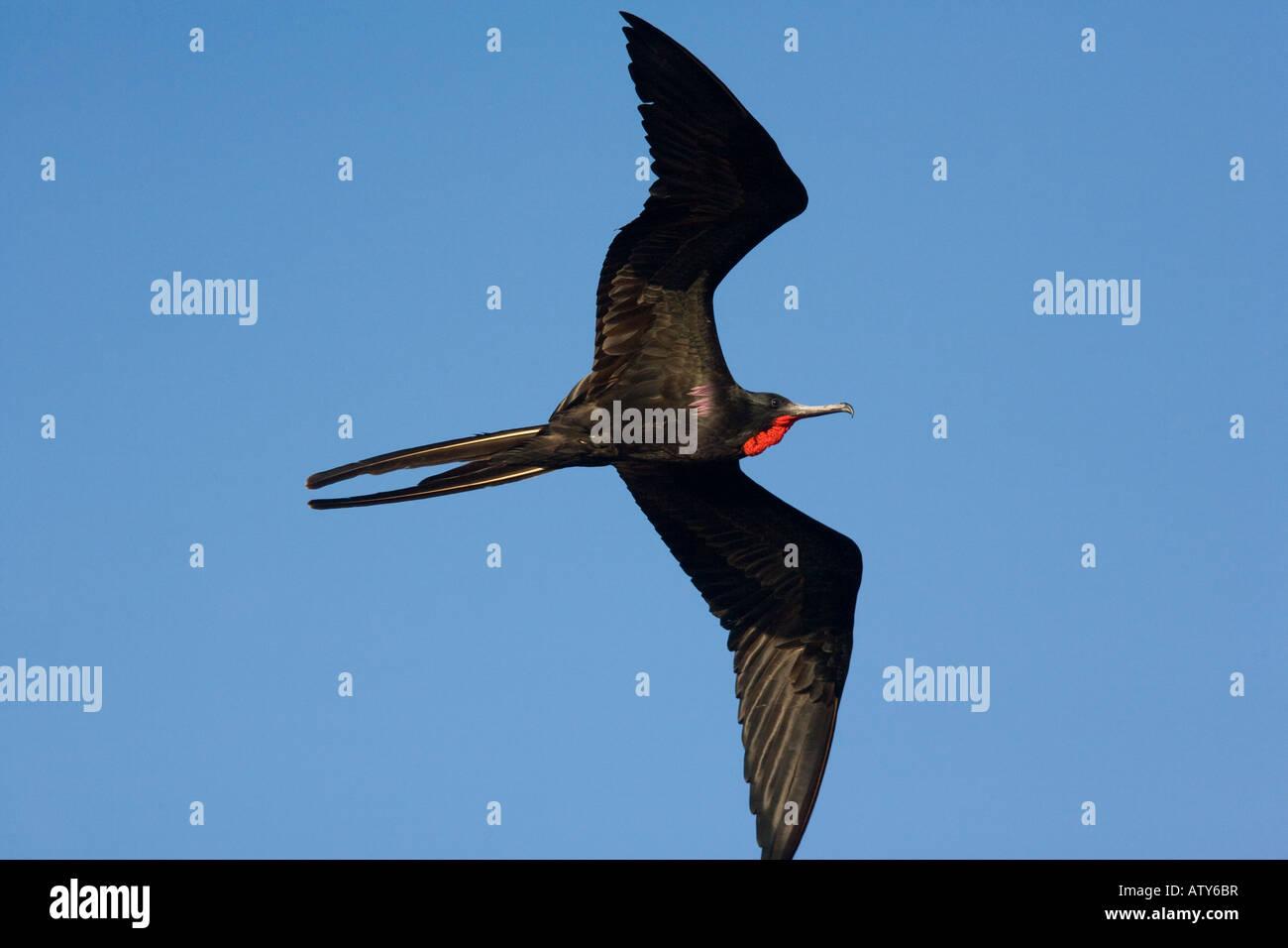 Great Frigatebird Fregata minor ridgwayi female in flight Galapagos Stock Photo