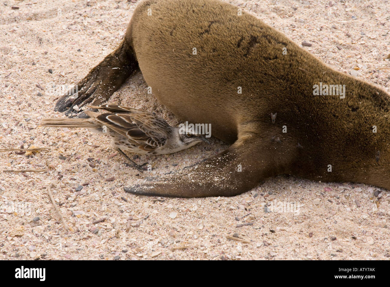 Hood Mockingbirds Nesomimus macdonaldi investigating dead sealion on the beach Hood Island Galapagos Stock Photo