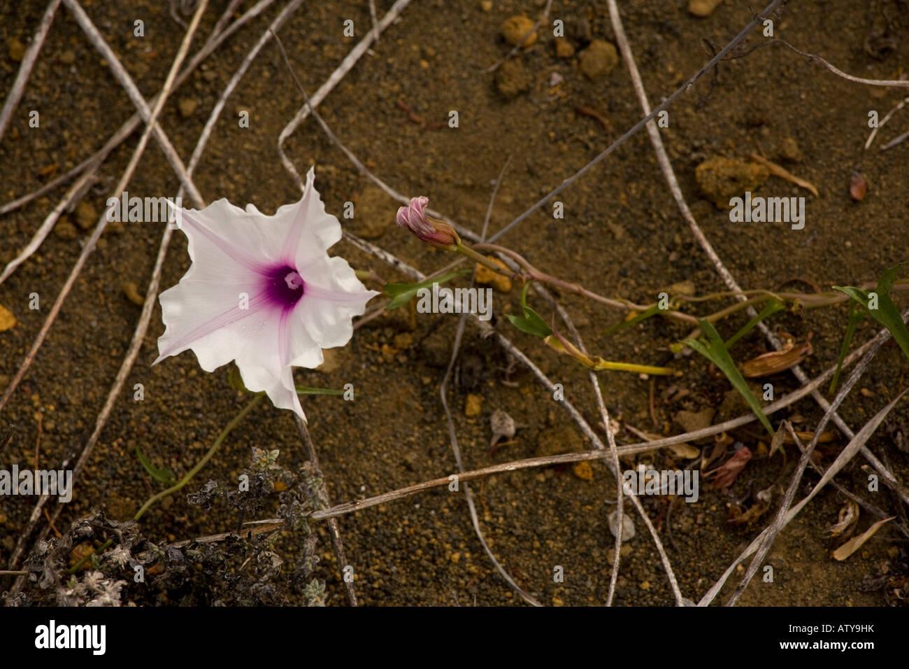 Arrow-leaved morning glory (Ipomoea linearifolia) endemic plant, close-up, Santiago Island, Galapagos Islands - Stock Image