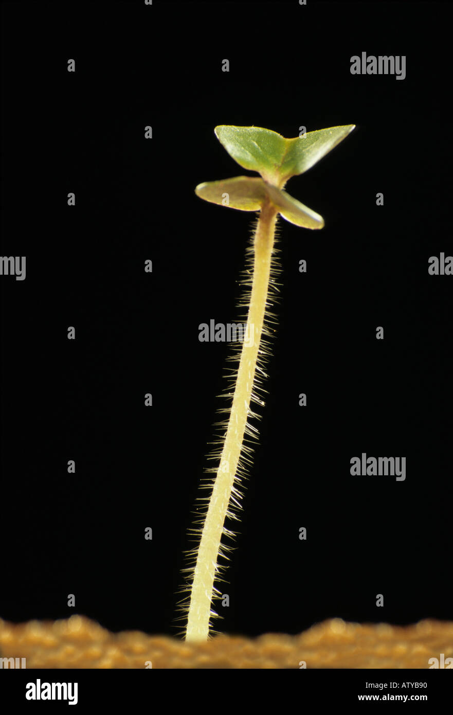 1 tiny mustard seedling with the first pair of seed leaves stands in sand against a black background - Stock Image