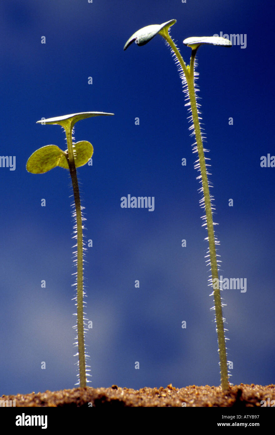 2 tiny mustard seedlings with their first pair of seed leaves stand in sand against a blue sky - Stock Image