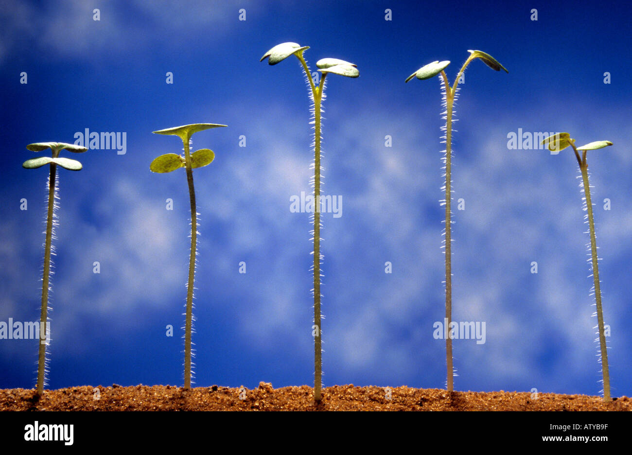 5 tiny mustard seedlings with their first pair of seed leaves stand in sand against a blue sky - Stock Image