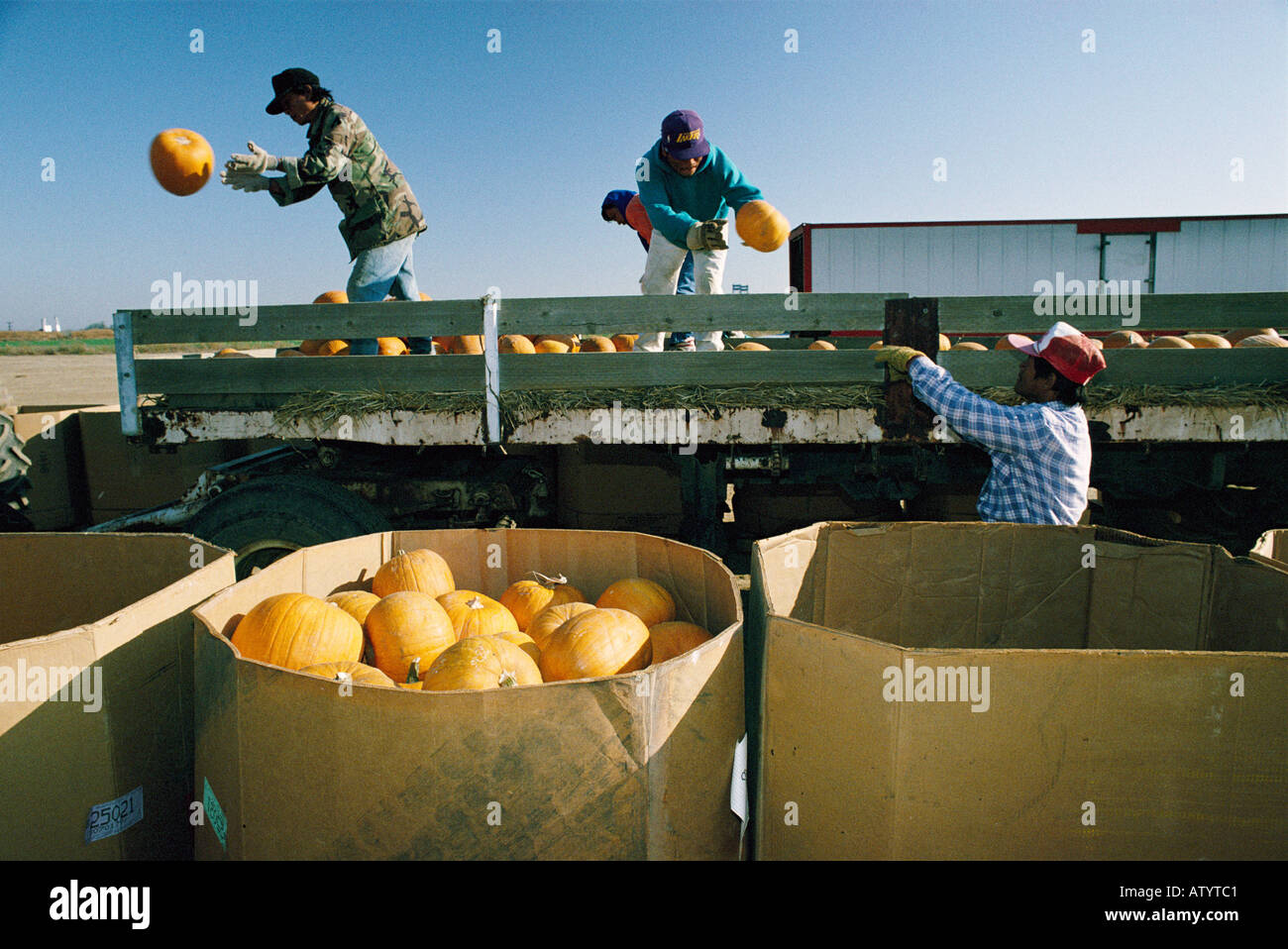 USA, California, migrant workers collecting pumpkins - Stock Image