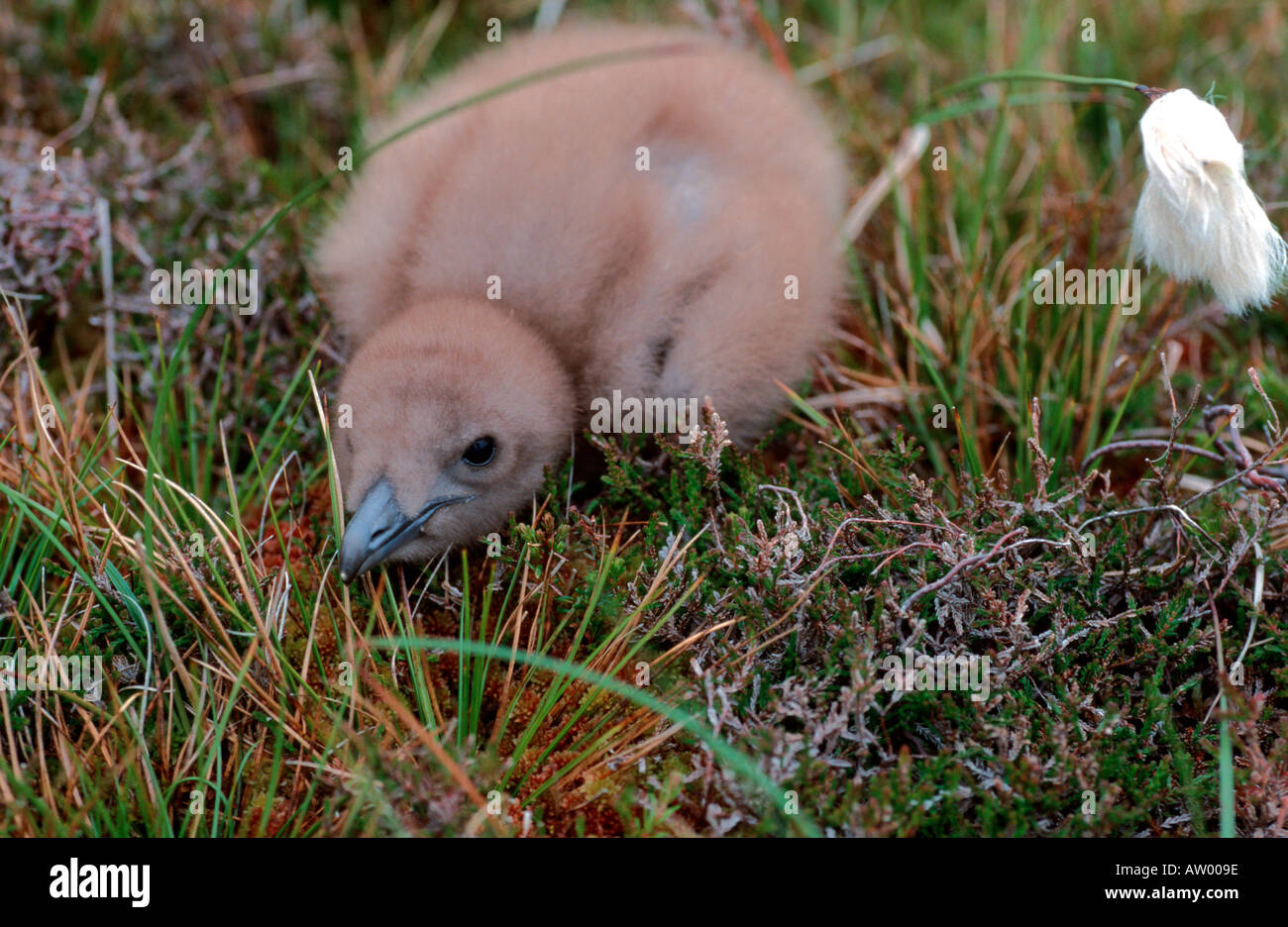 Great Skua chick on the ground in natural nest Hermaness Shetland Islands Scotland UK United Kingdom - Stock Image