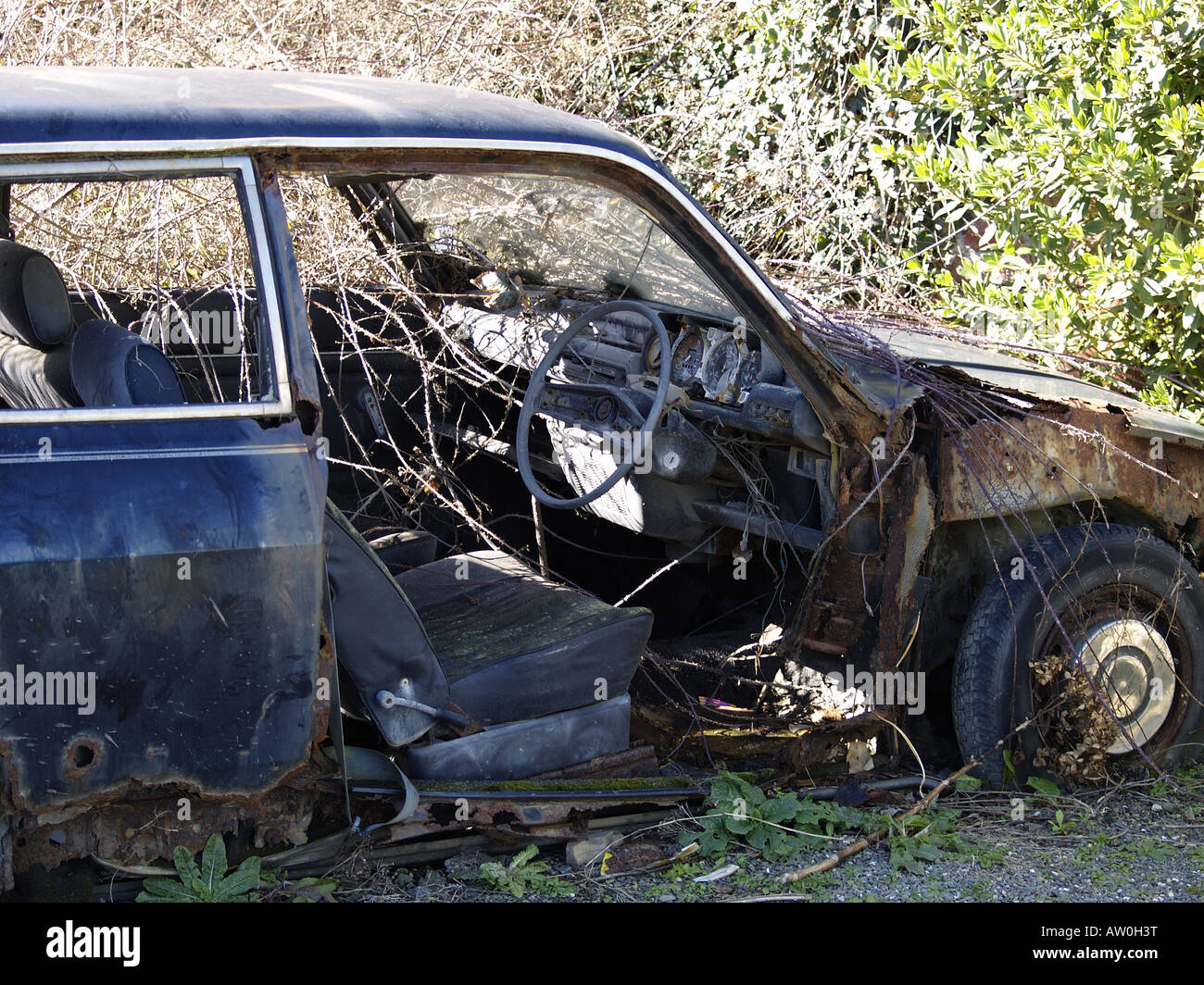 Abandoned car with brambles growing through it - Stock Image