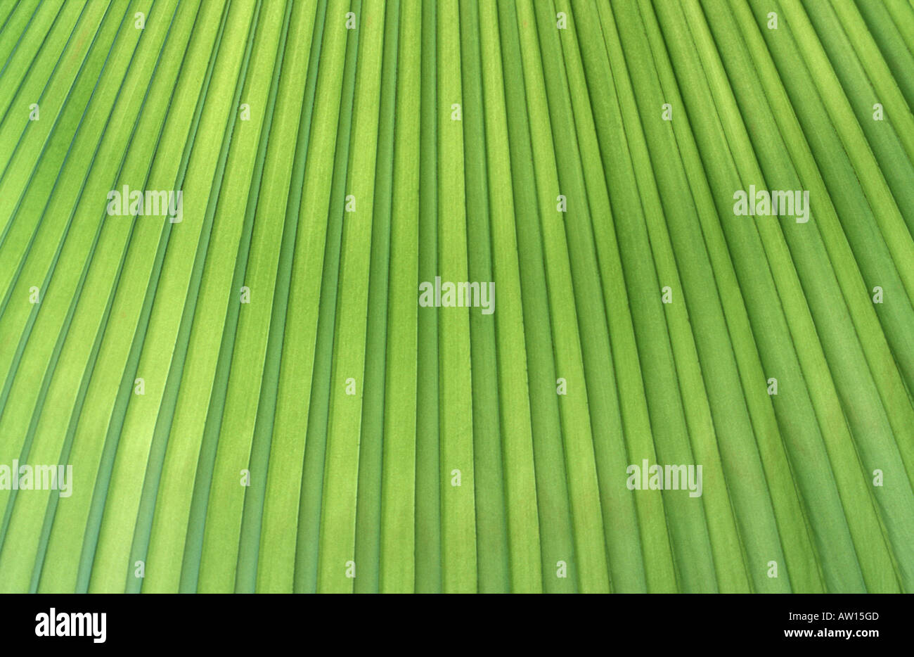 Detail of a tropical palm Southeast Asia - Stock Image