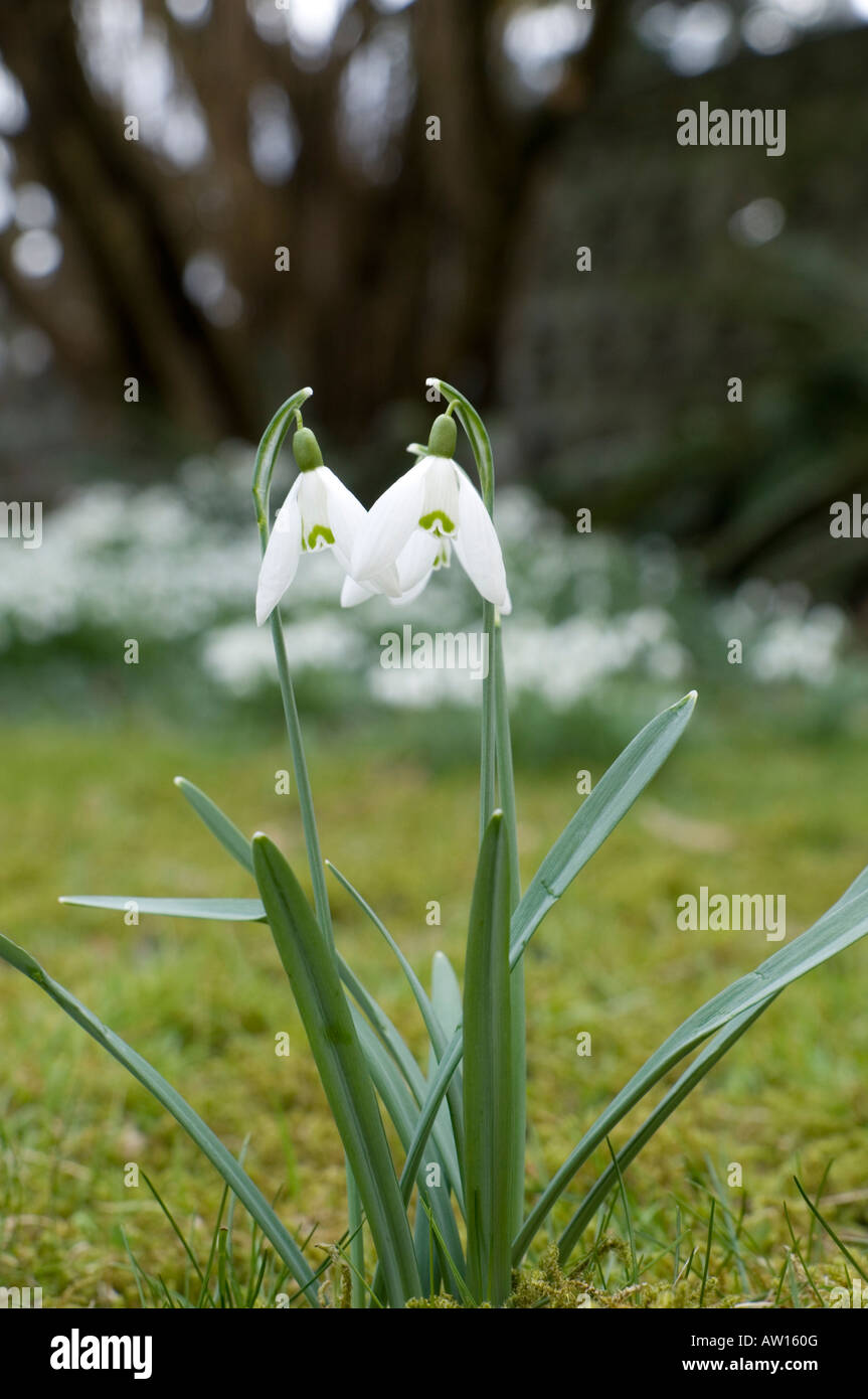 Photo of rwo snowdrops blooming in late winter COMMON NAME Snowdrop LATIN NAME Galanthus - Stock Image