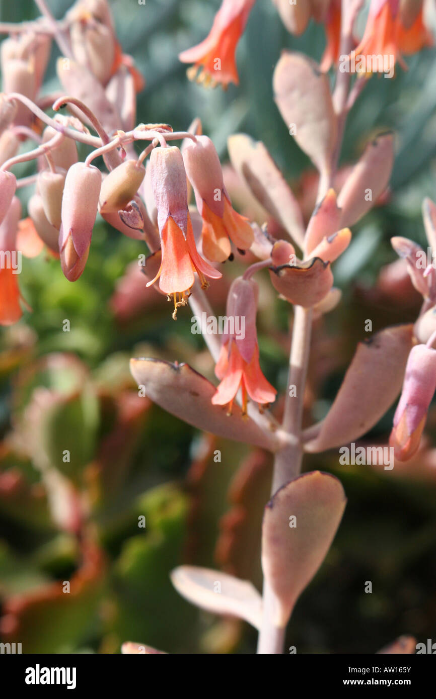Mother of thousands Kalanchoe daigremontiana at the Harry P Leu ...
