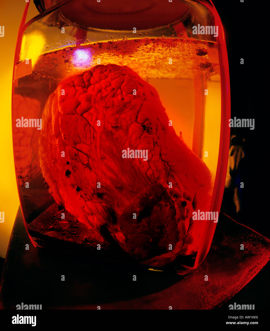 A cow's heart sitting jn a jar of fluid is illuminated eerily with hues of red and yellow. - Stock Image