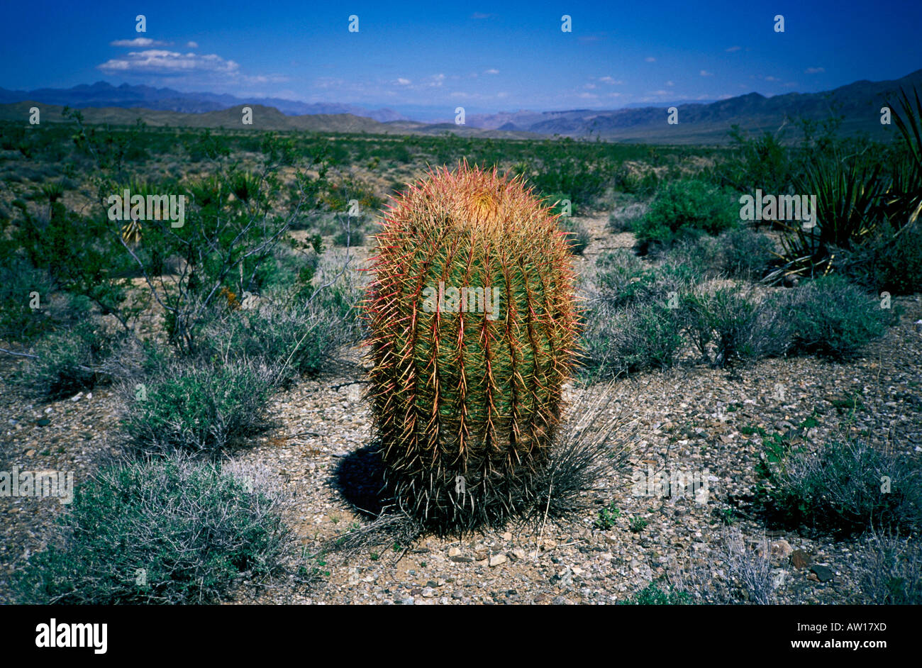 A Barrel Cactus stands out against desert brush in the Sonoran Desert. - Stock Image