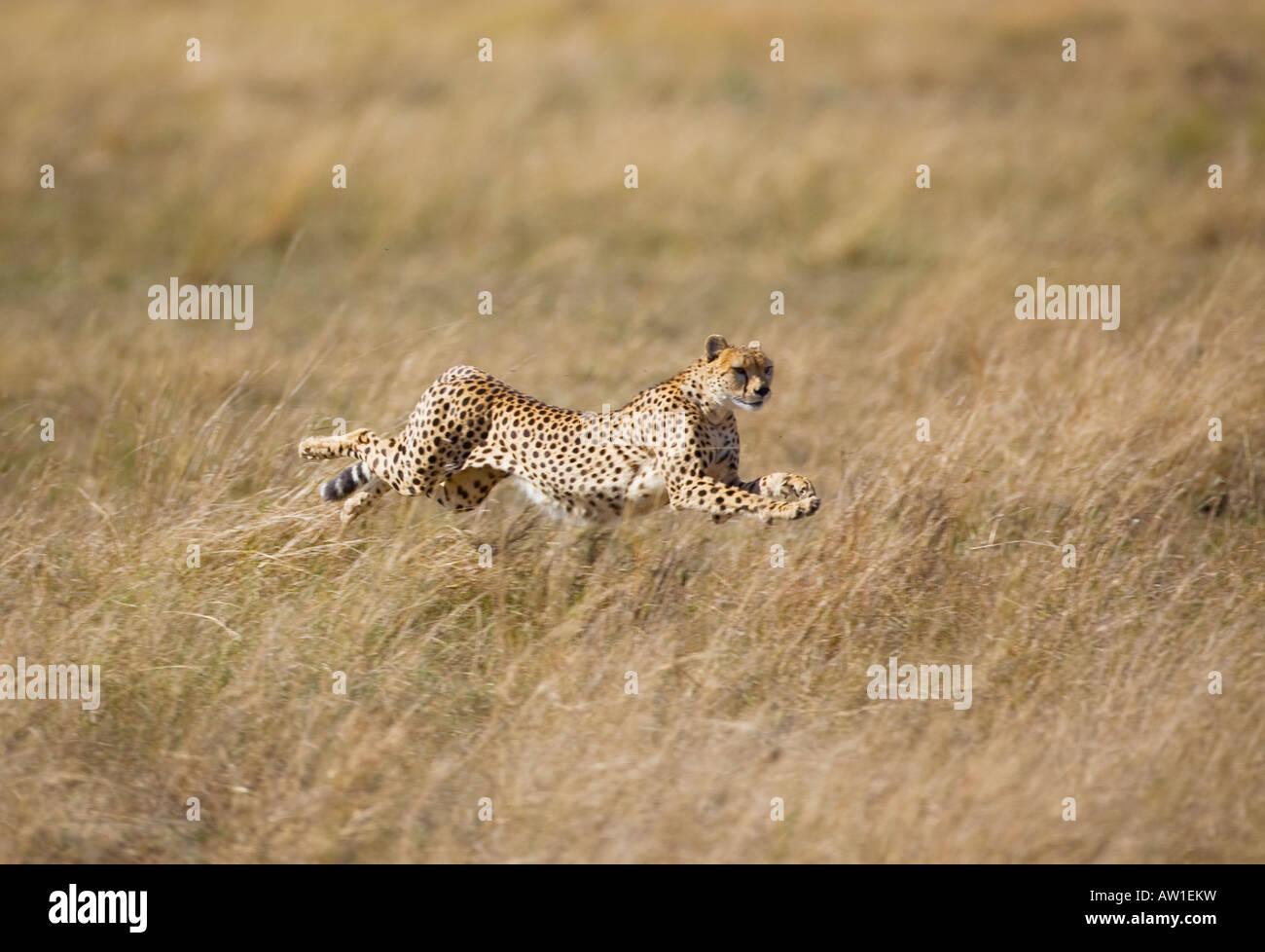 Cheetah (acinonyx jubatus) in full flight - Stock Image