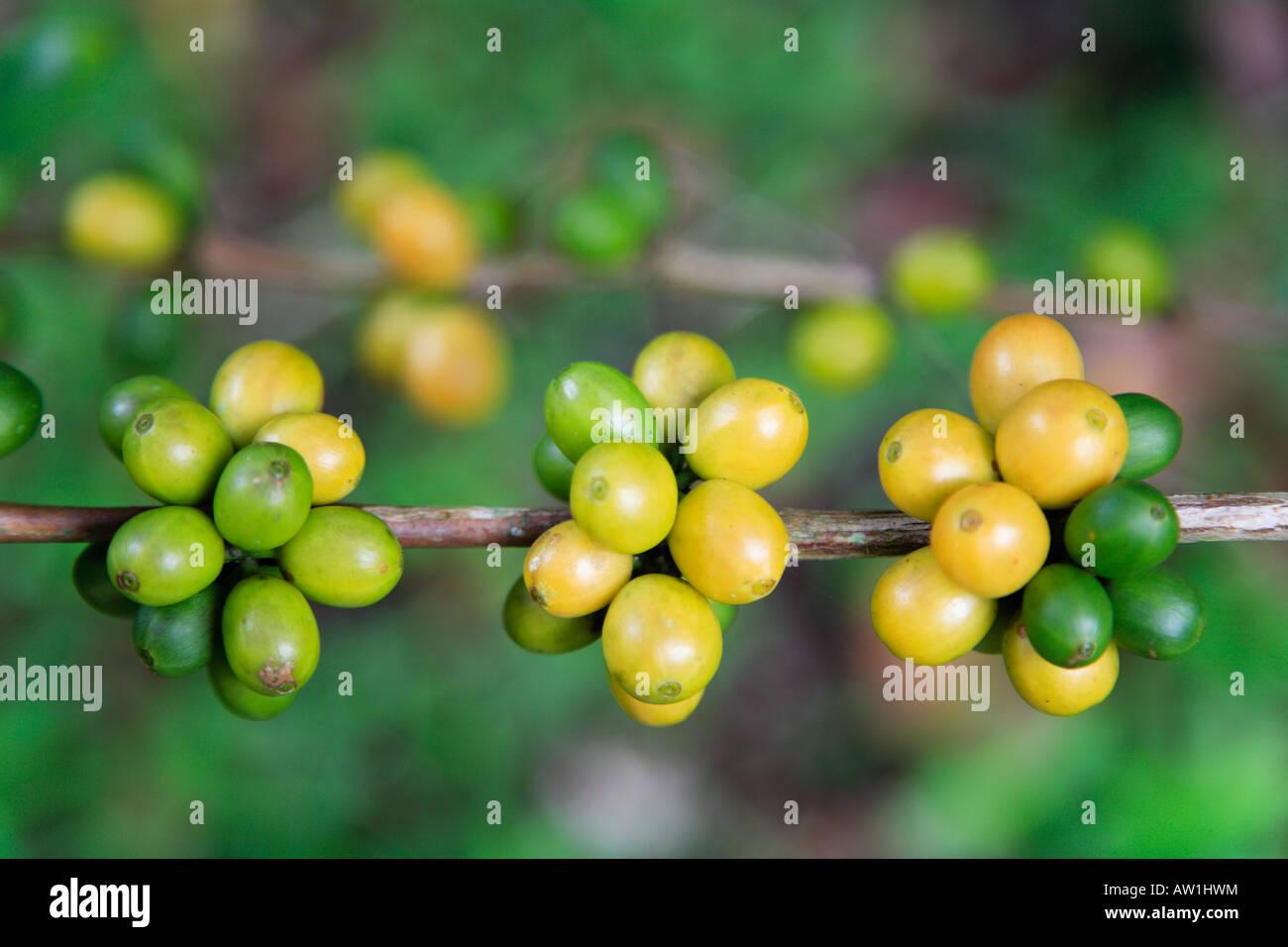 Kaffeebohnen coffee beans Venezuela Stock Photo