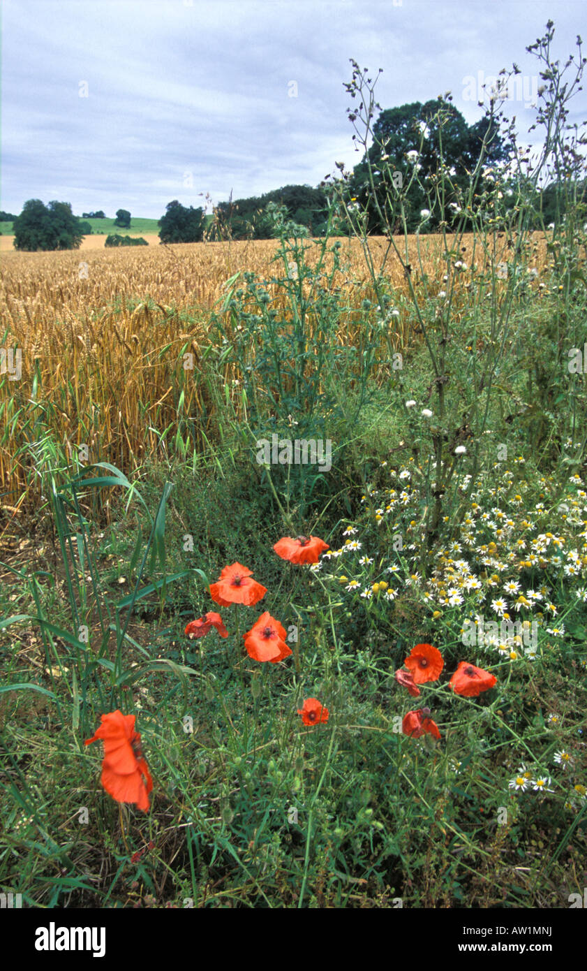Flowers growing in field margin left for wildlife on farm in Oxfordshire - Stock Photo