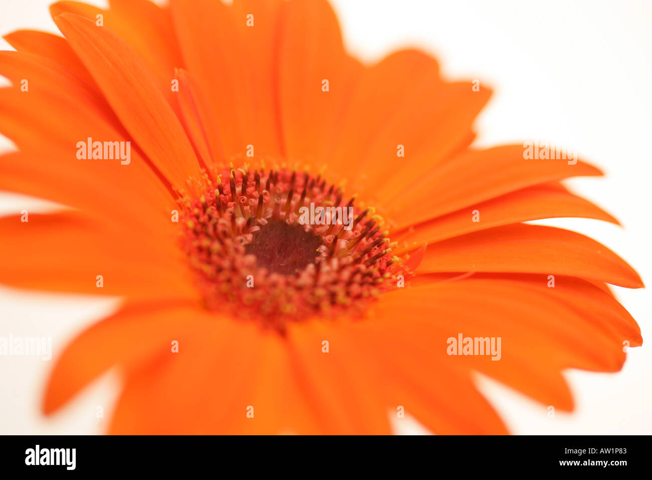 Closeup of a vivid bright orange gerbera daisy flower with delicate closeup of a vivid bright orange gerbera daisy flower with delicate petals and spiky center full of seeds izmirmasajfo