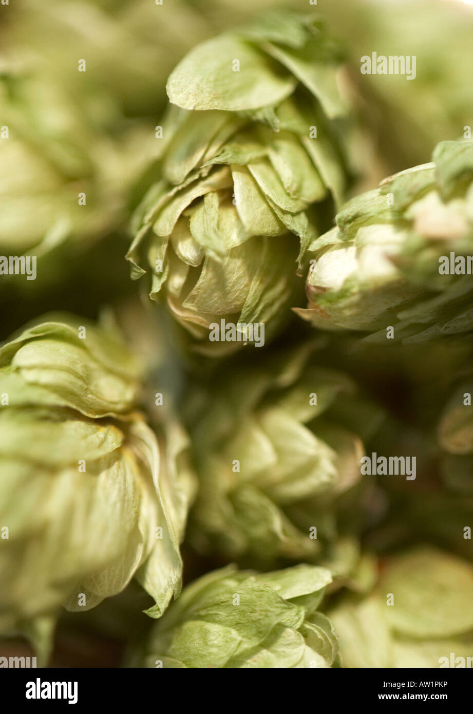 Hops for beer brewing - Stock Image