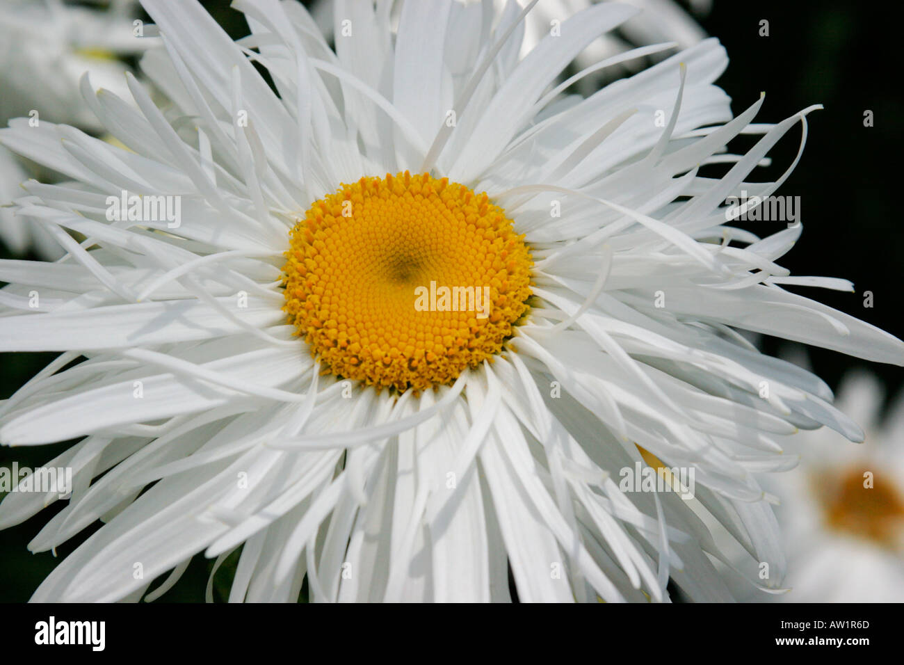 White flowers of perennial garden plant leucanthemum x superbum white flowers of perennial garden plant leucanthemum x superbum common name shasta daisy mightylinksfo