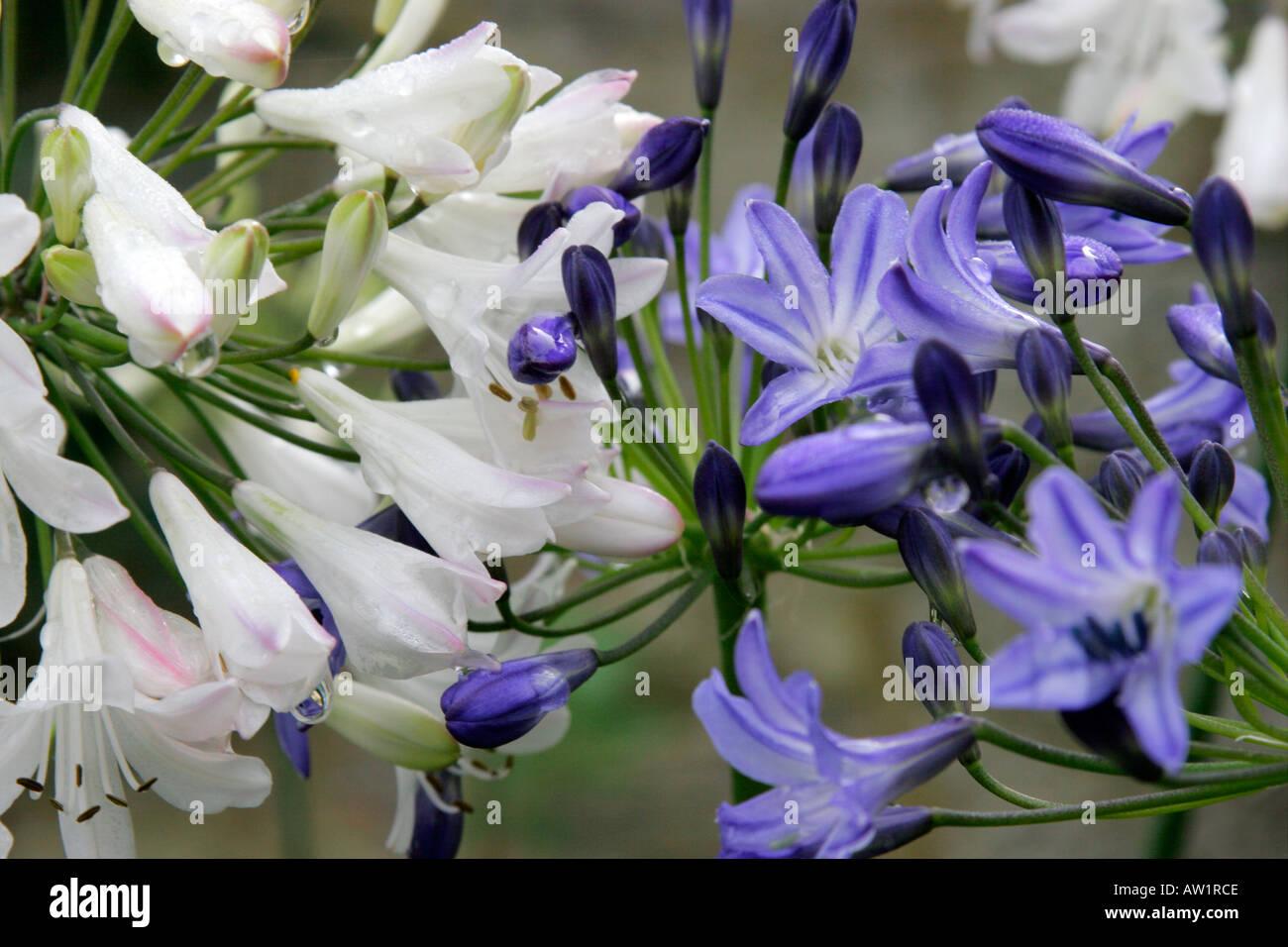 Blue and white flowers of garden plant agapanthus stock photo blue and white flowers of garden plant agapanthus izmirmasajfo