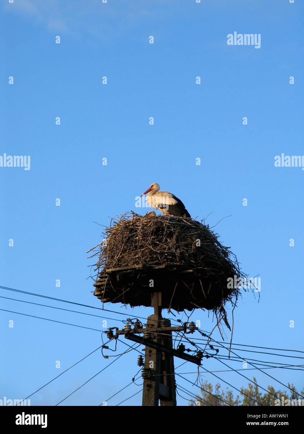Stork's nest (Ciconiidae) on a telephone pole, Poland Stock Photo