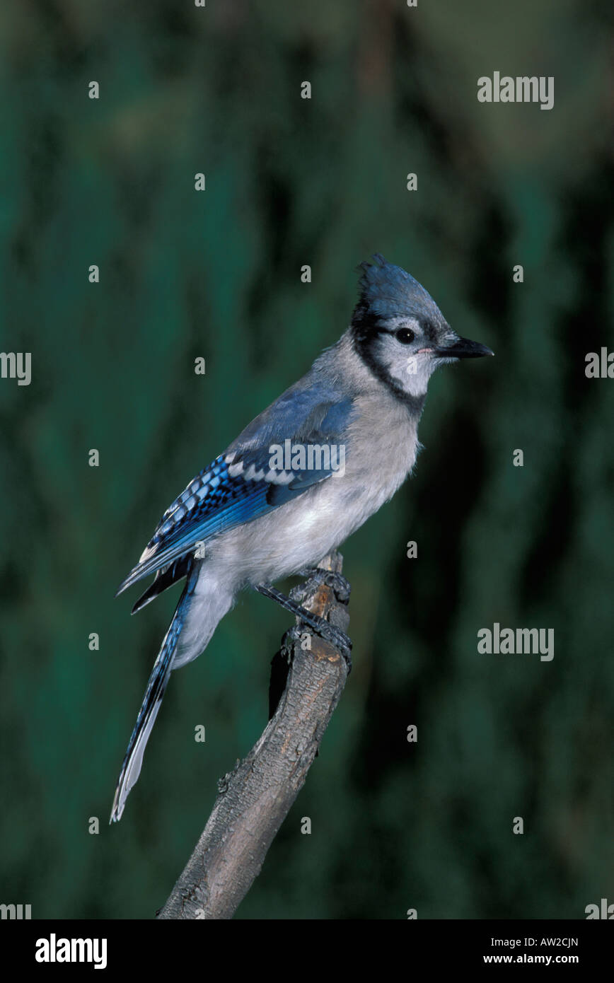 Blue Jay juvenile, Cyanocitta cristata, perched. Stock Photo