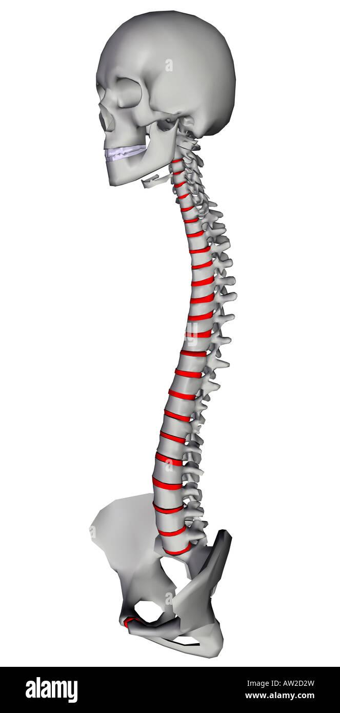 spine with vertebrae and intervertebral disc - Stock Image