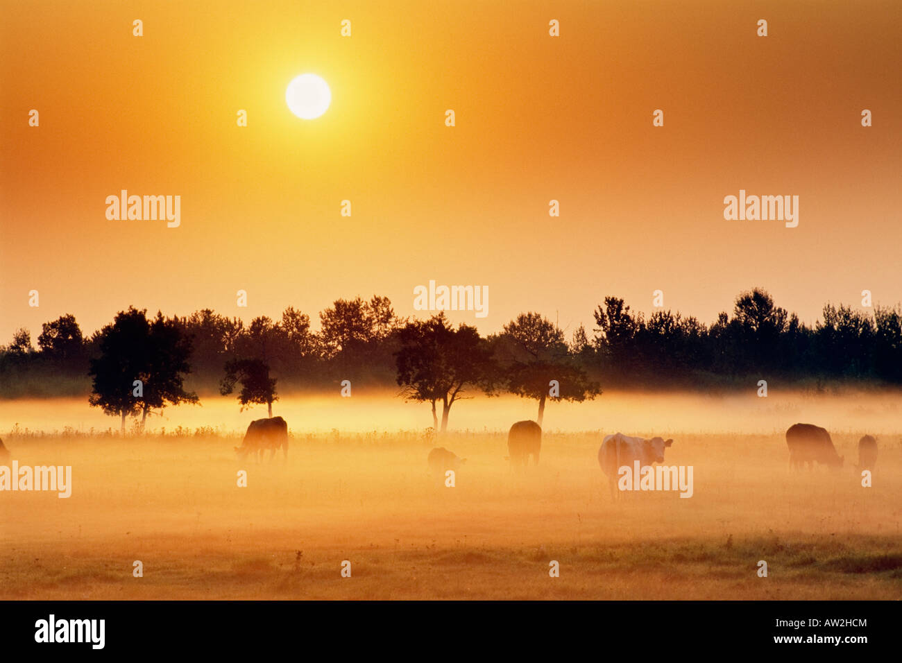 Cattle in fog at sunrise near Millet, Alberta, Canada - Stock Image