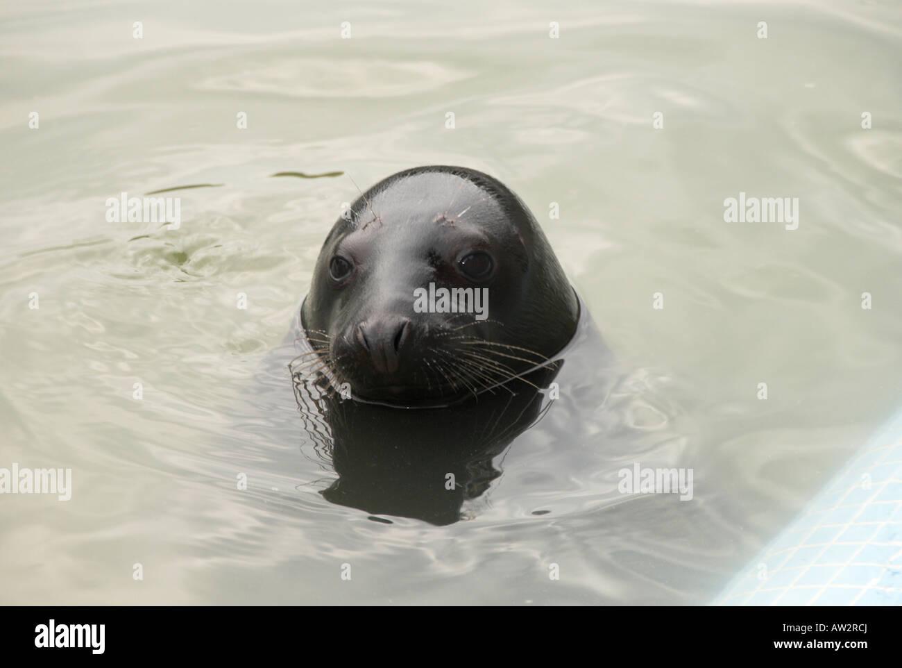 single seal at seal sanctuary Gweek Cornwall England UK Stock Photo