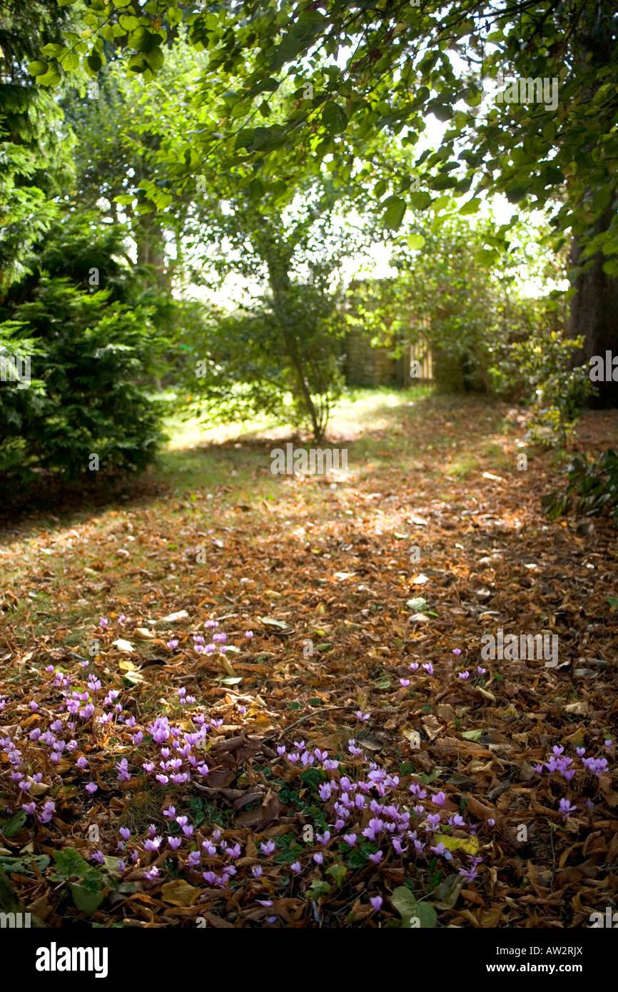 UK gardens. Cyclamen in woodland garden dappled shade Stock Photo ...