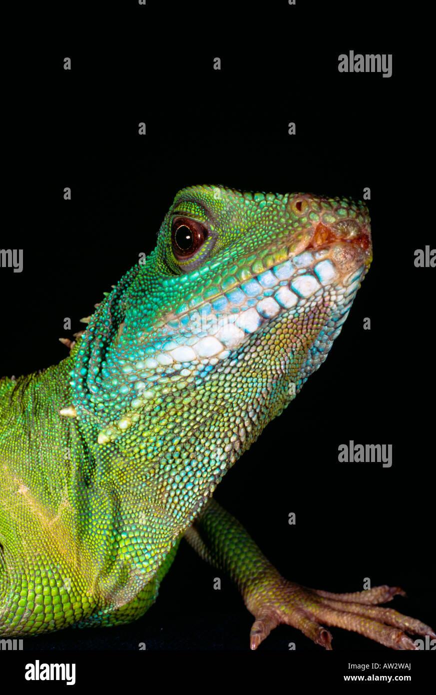 Green iguana - Stock Image