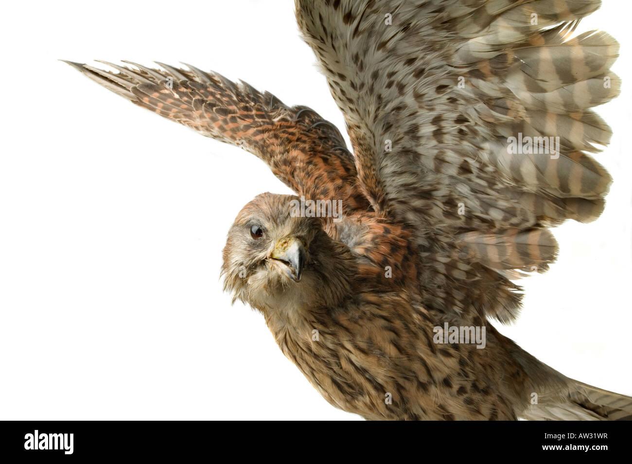 falcon hawk stuffed bird - Stock Image