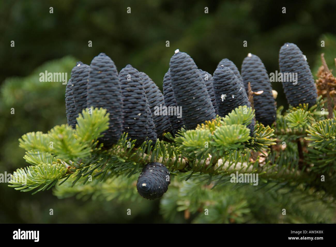 Scots Pine cones  Aberdeenshire Highlands Scotland August 2007 - Stock Image