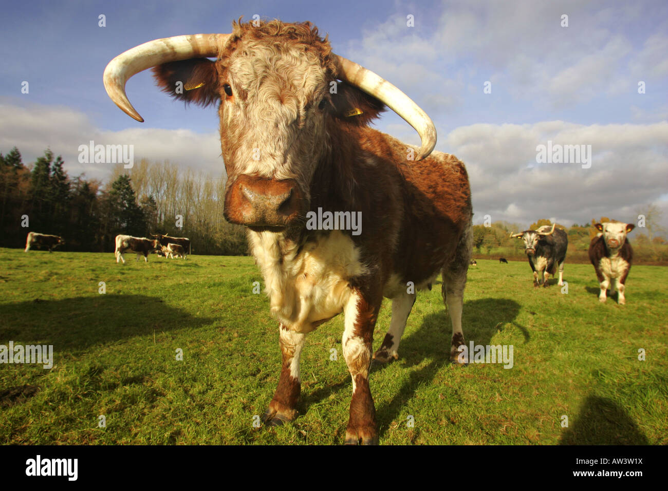 Pedigree Longhorn Cows in Devon UK - Stock Image