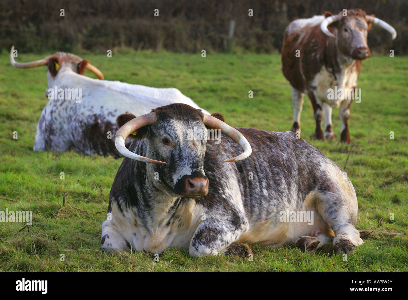 Longhorn cattle - Stock Image