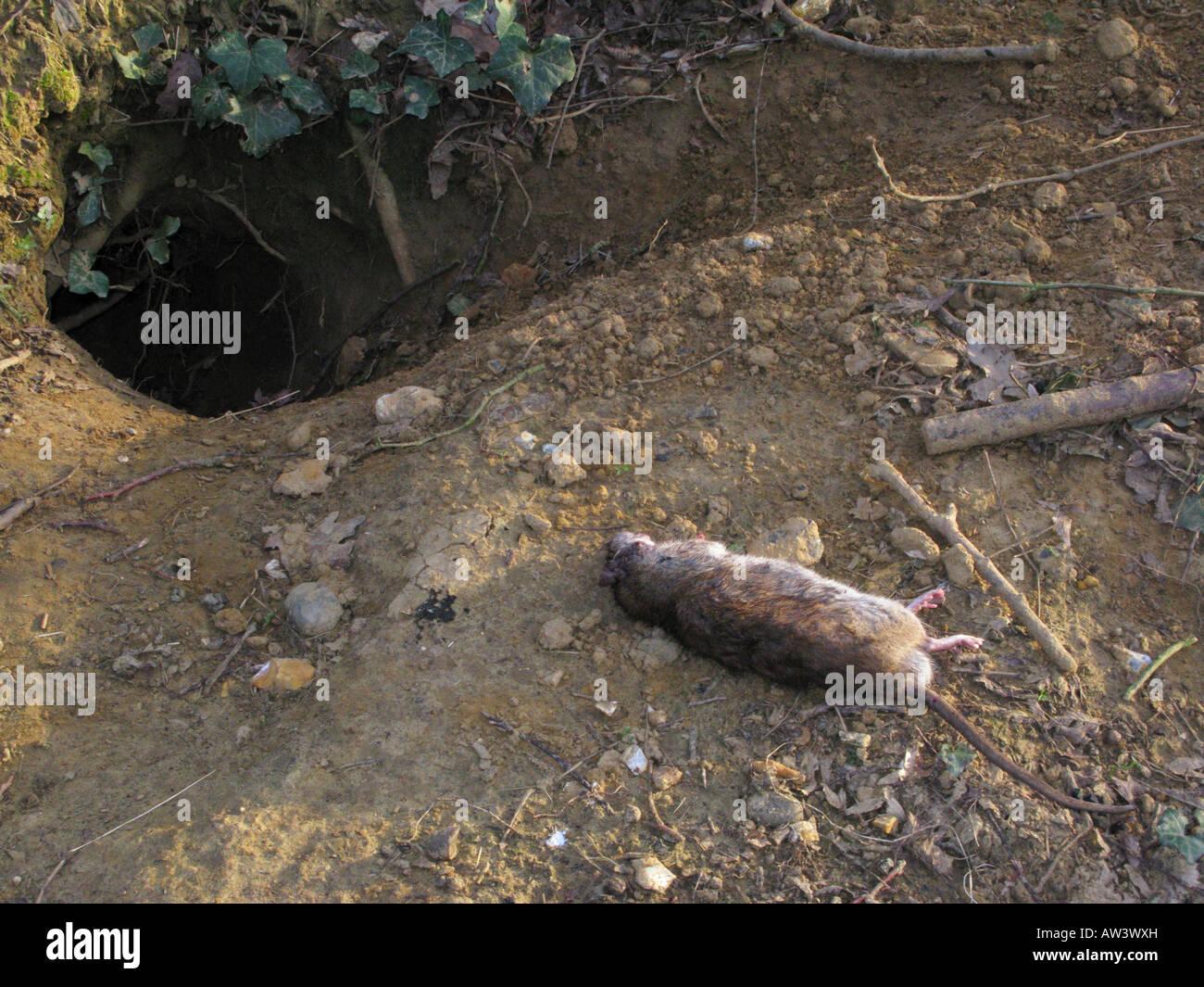 dead-brown-rat-at-entrance-of-fox-hole-den-rattus-norvegicus-AW3WXH.jpg