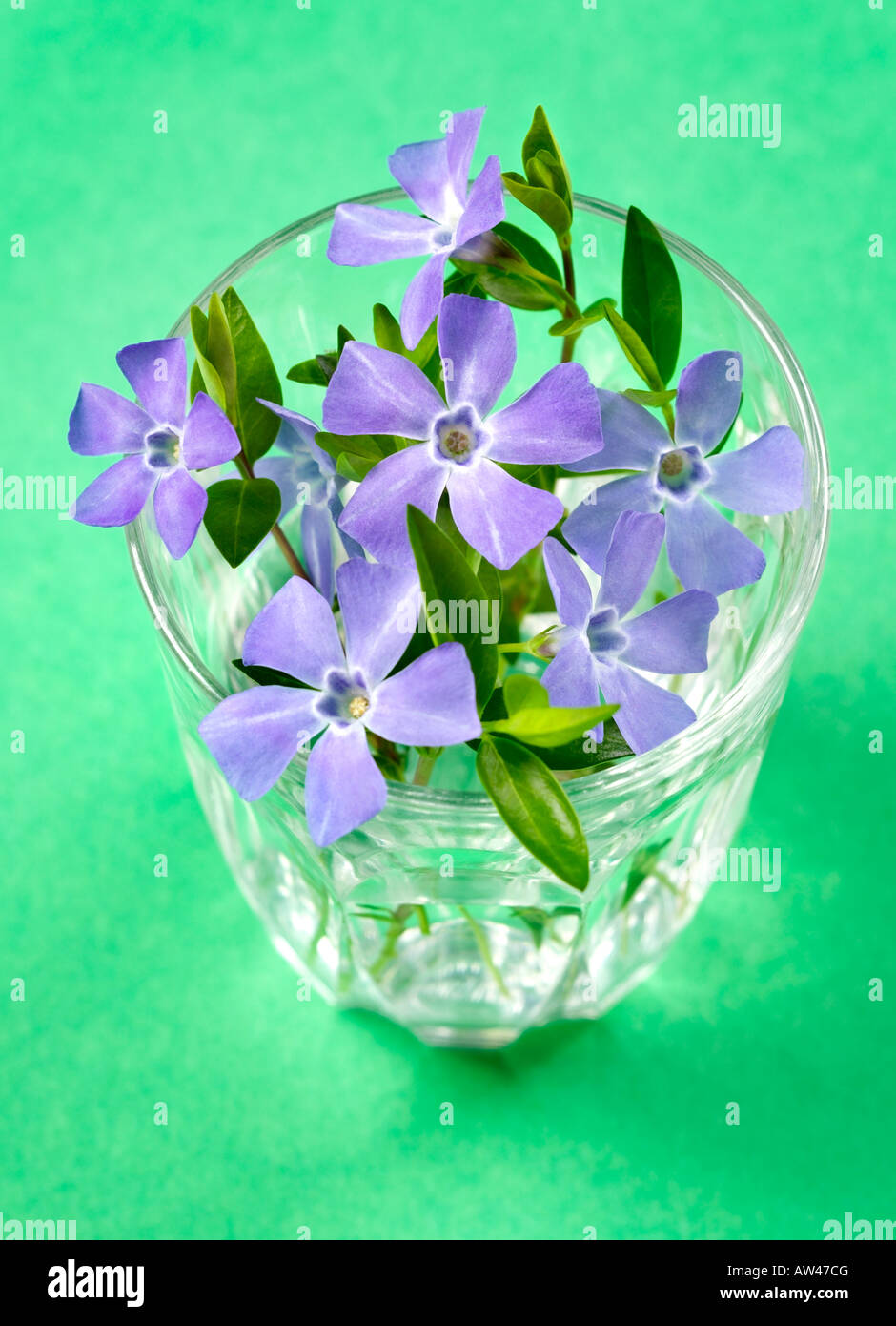 A glass containing periwinkle flowers on a green background. - Stock Image