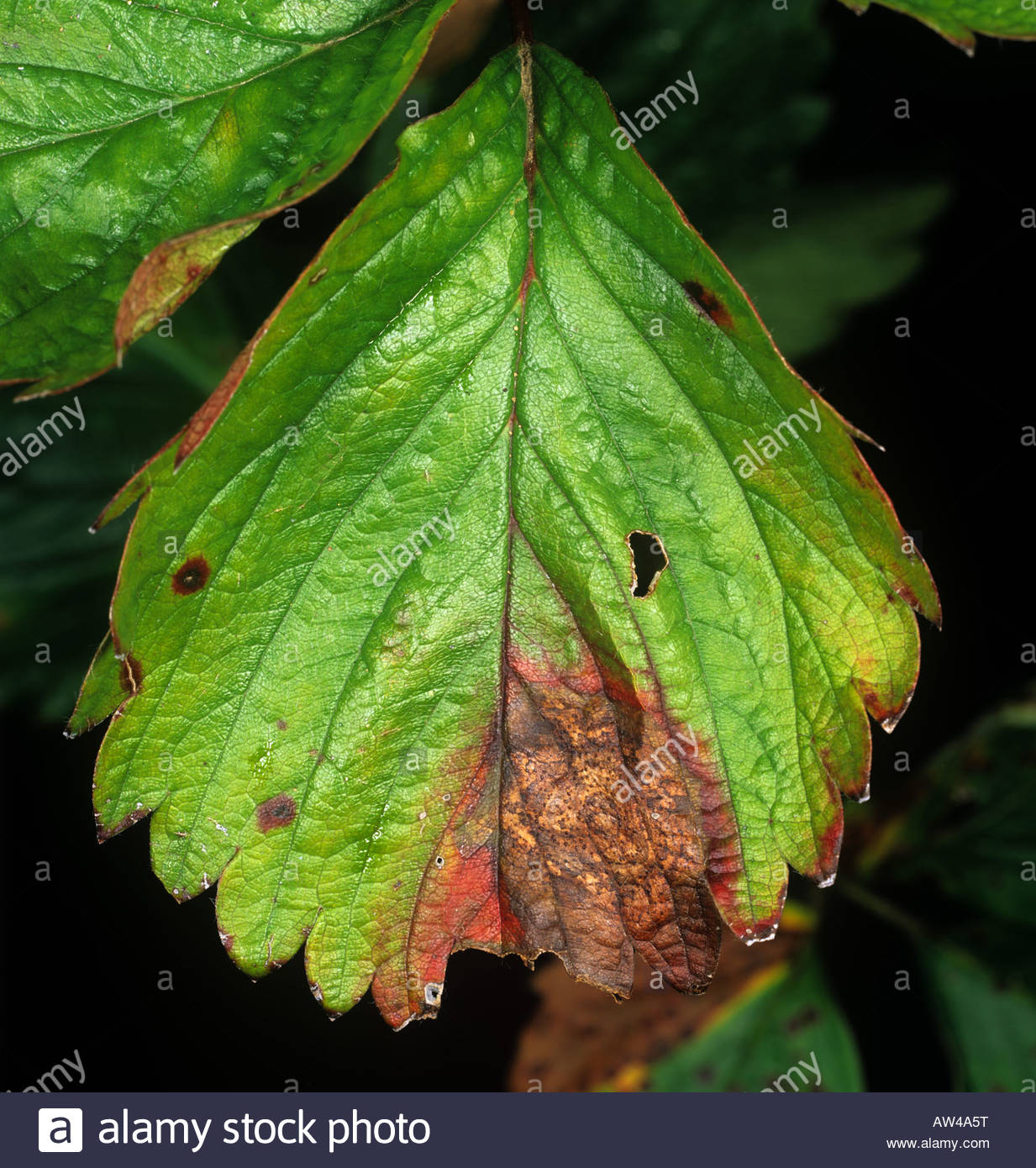 Strawberry leaf blotch Gnomonia fragariae necrosis to strawberry leaf - Stock Image