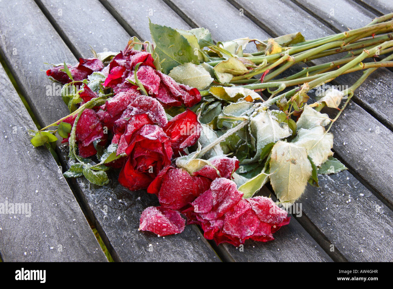 Abandoned Roses covered in frost. - Stock Image