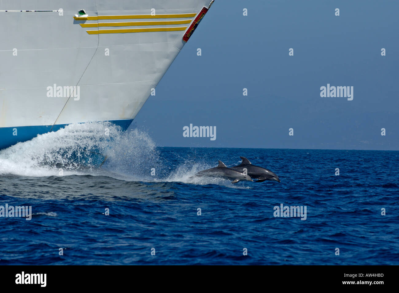 Two bottlenose dolphins (tursiops truncatus) swimming in front of a ship, Tarifa, Andalusia, Spain. - Stock Image