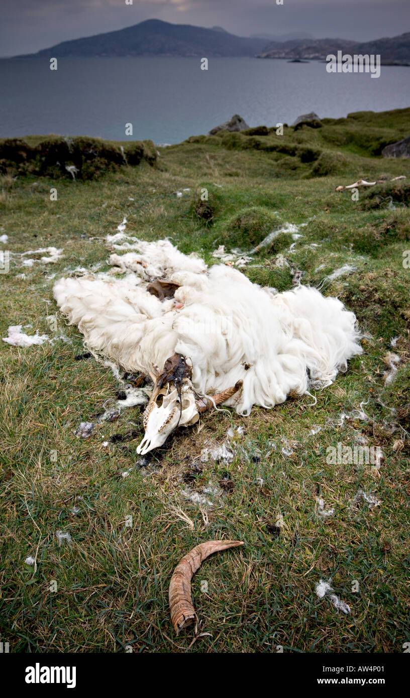 Dead sheep carcass eaten by crows and other vermin Outer Herbrides Western Isles  Scotland - Stock Image